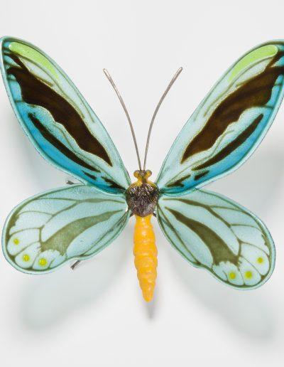 Queen Alexandra Birdwing